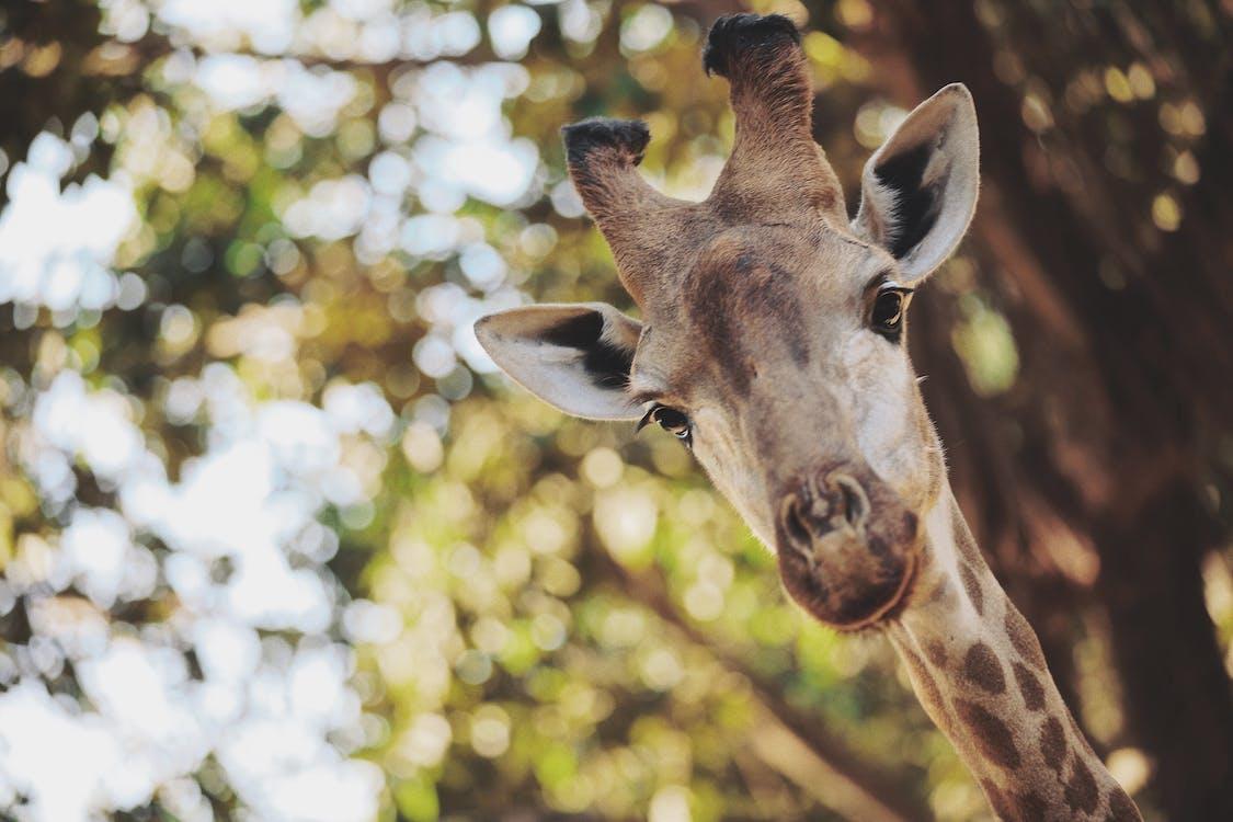 Close-up Photo of Giraffe's Head