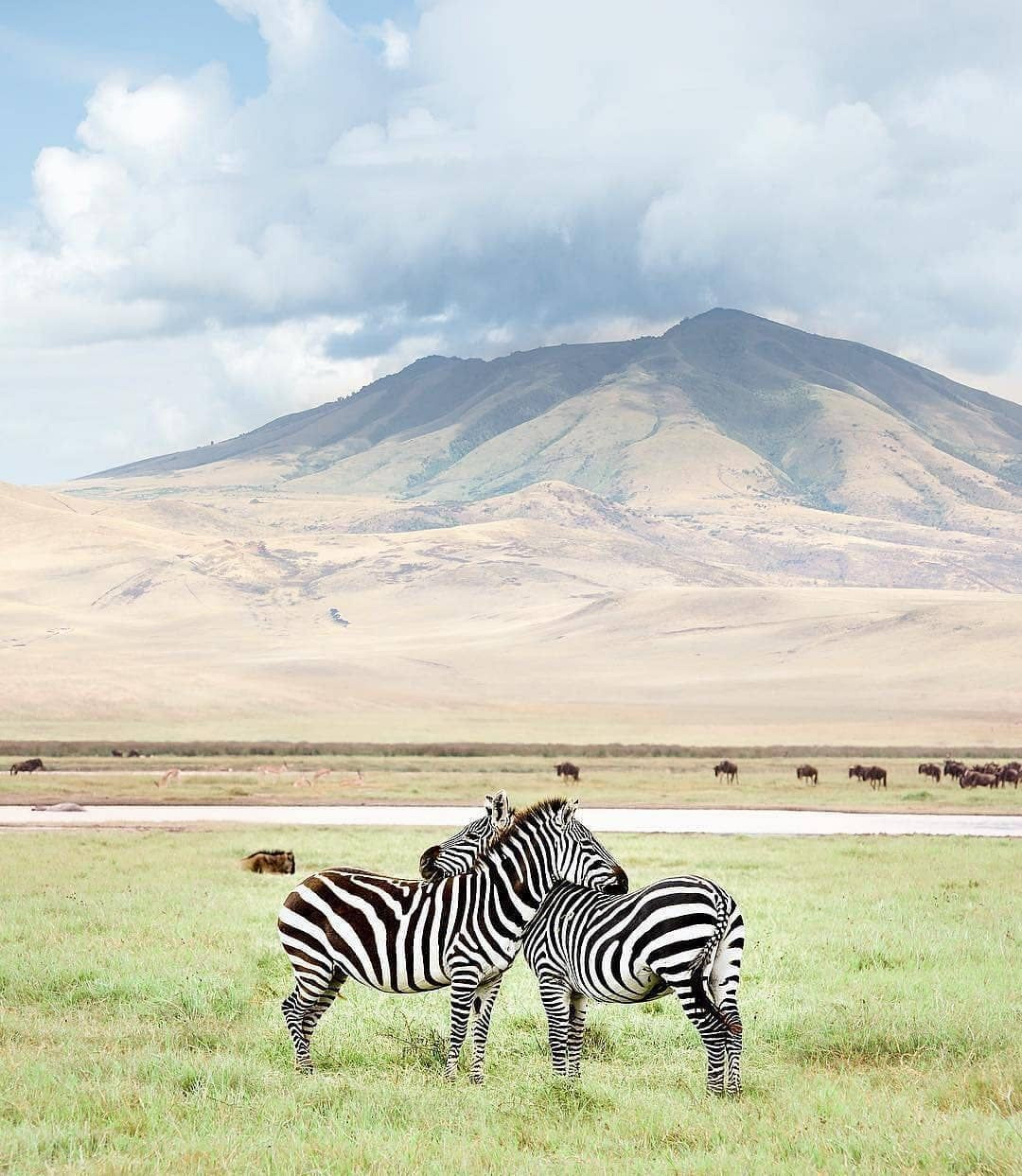 Two Zebras Standing On Grass Field With Mountain Background