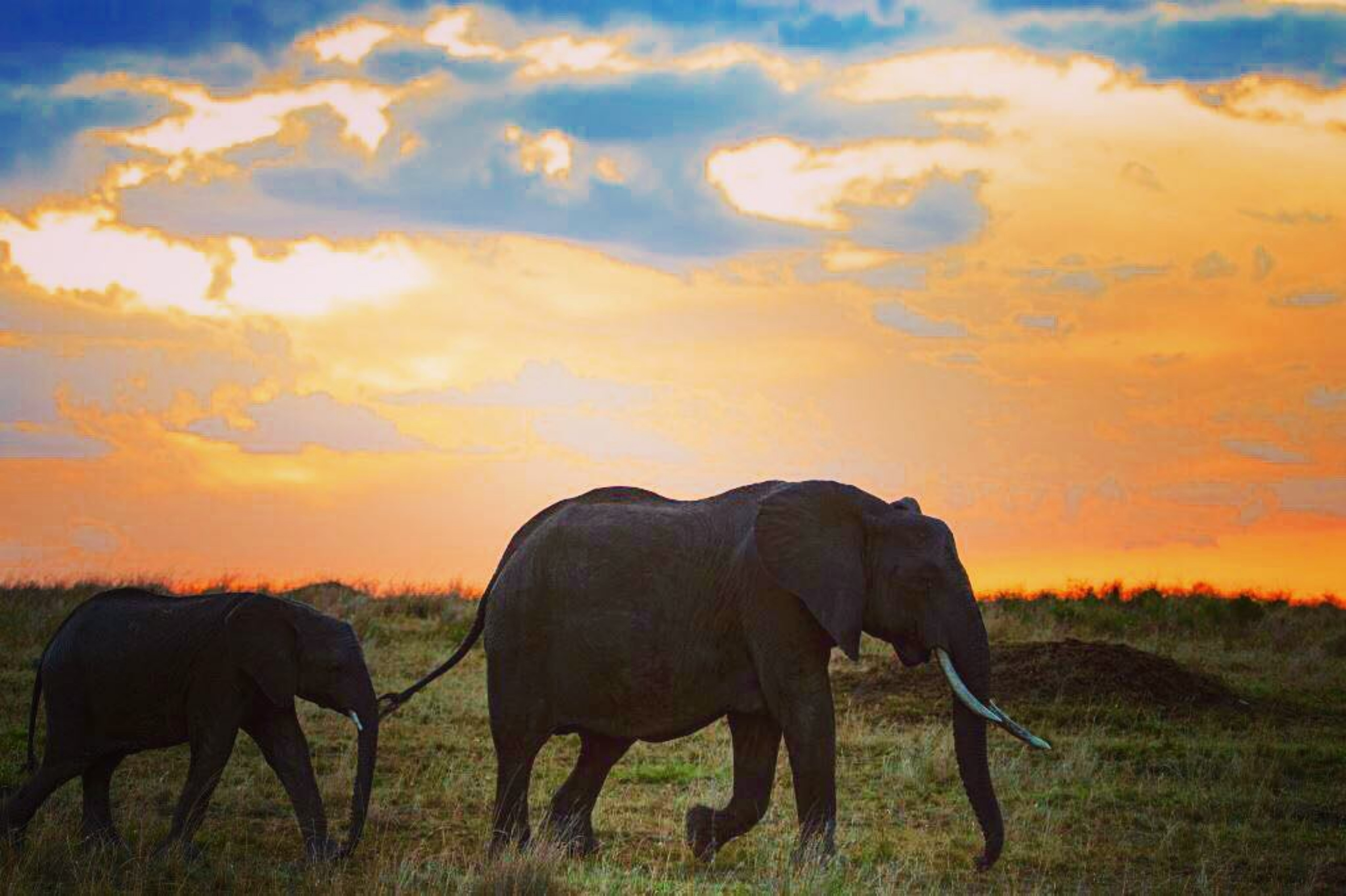 Adult and Young Elephants Walking Along Grass Field