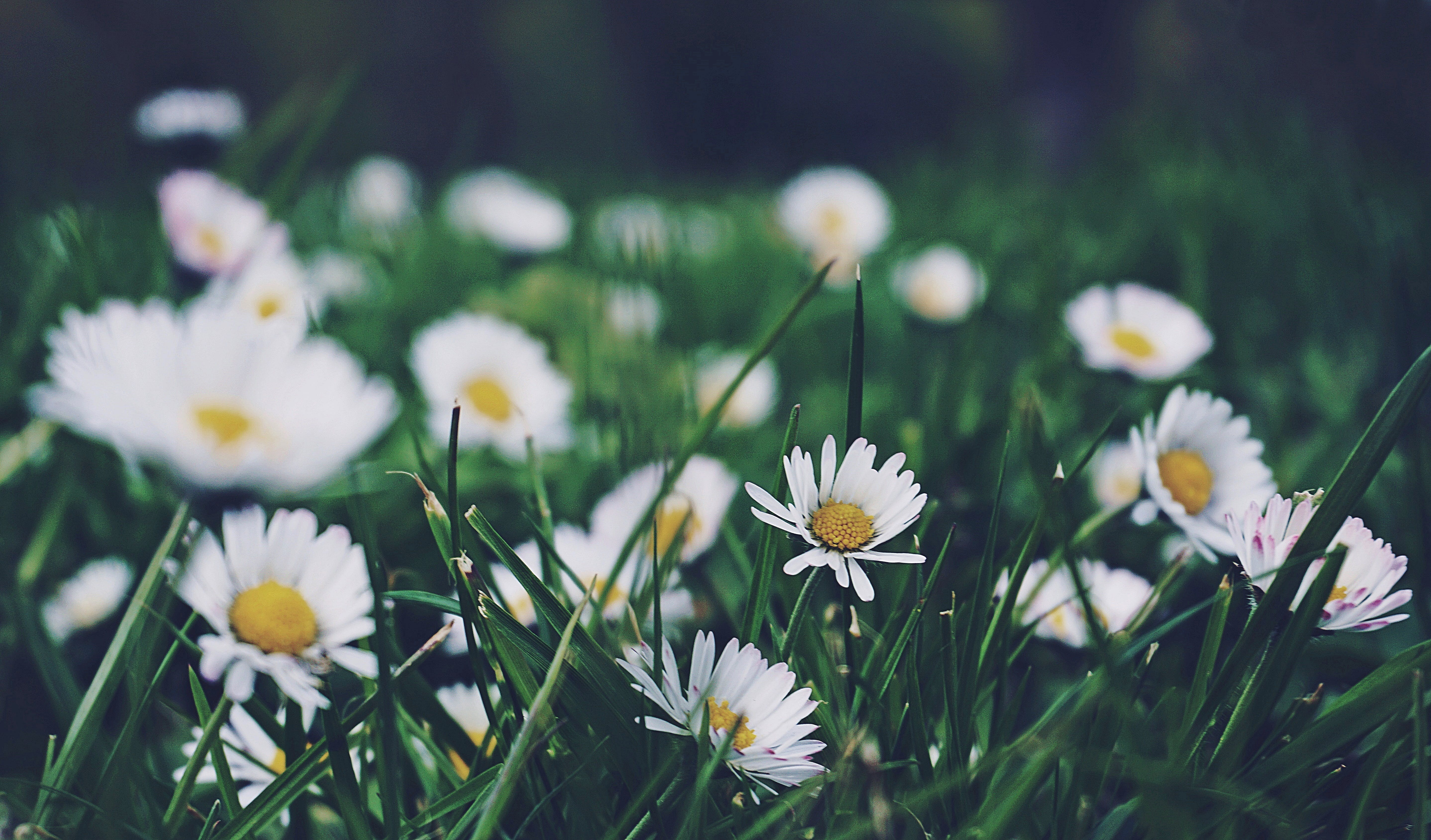 Free stock photo of close up, daisies, flowers, grass