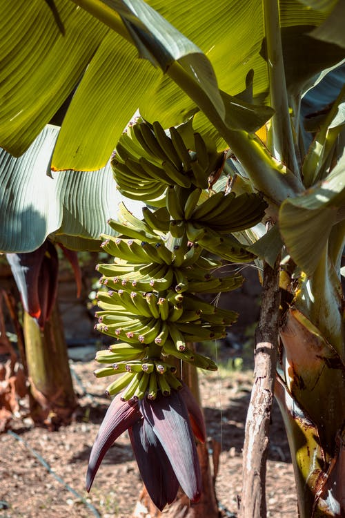 Základová fotografie zdarma na téma banán, banánovník, banánový list, jídlo