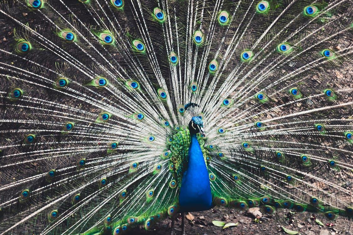 dyr, dyrefotografering, fjer