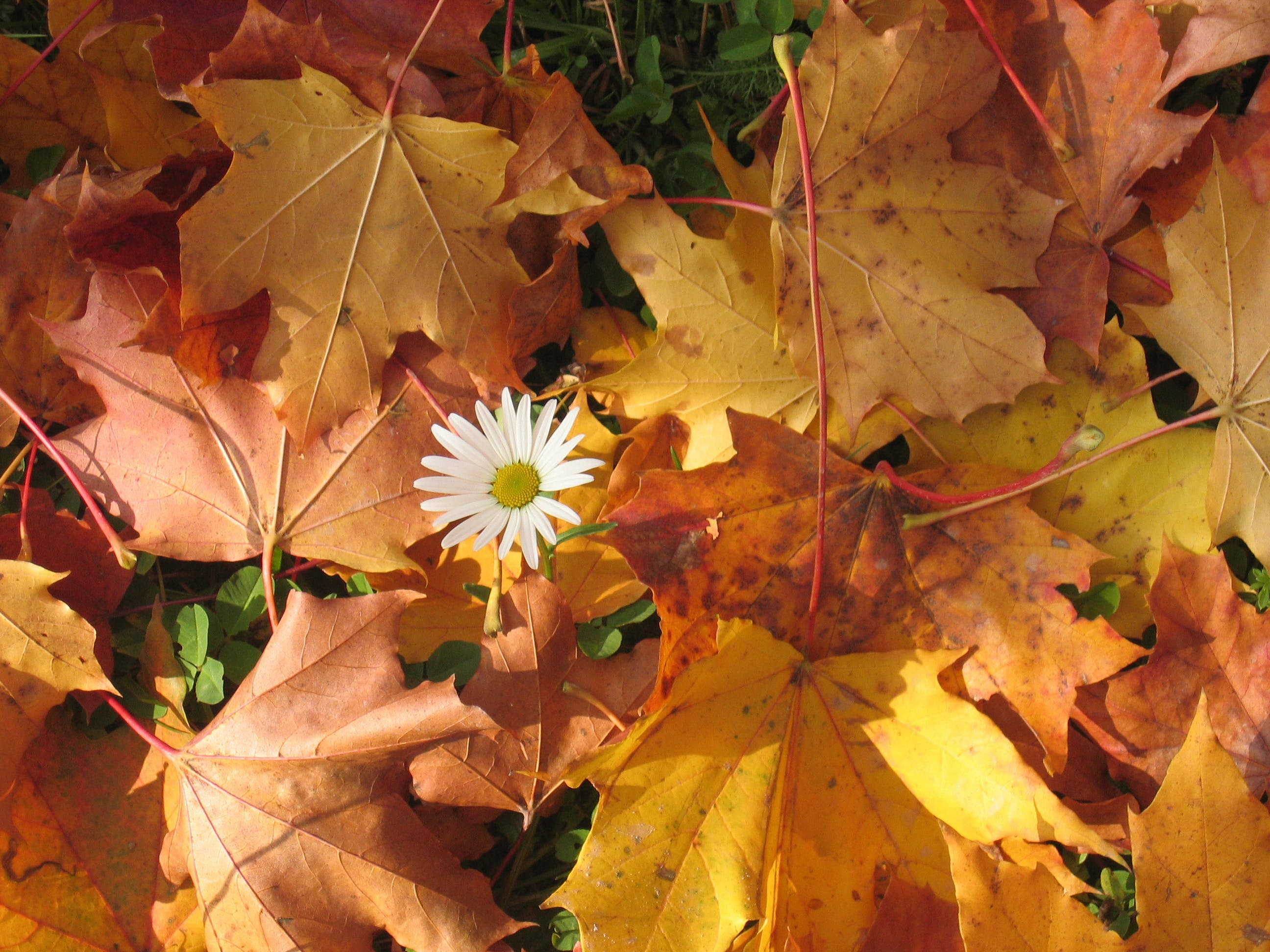 White Flower Surrounded by Red Maple Leaf
