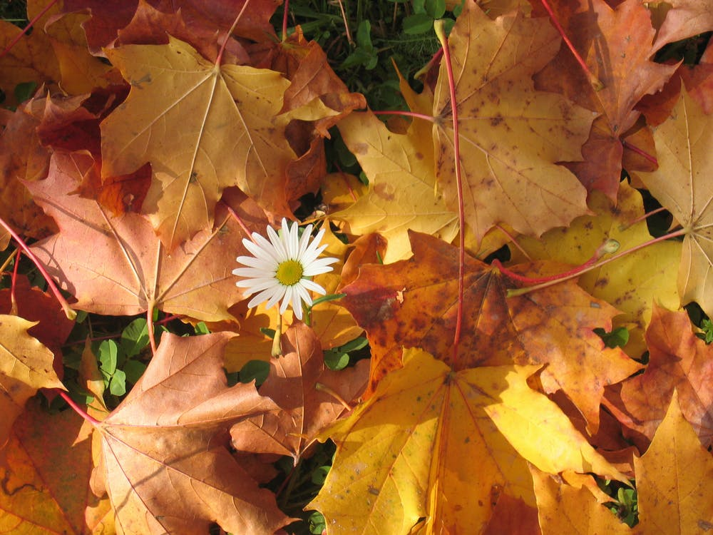Bunga Putih Dikelilingi Oleh Daun Maple Merah