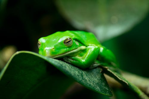 Tree Frog Resting on Green Leaf