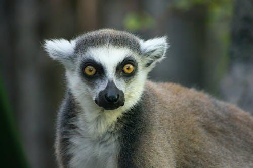 Fotos de stock gratuitas de anillo de lémur de cola