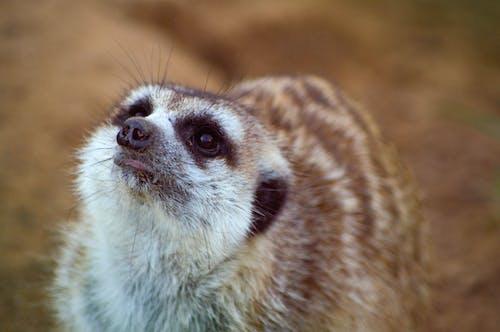 Gratis stockfoto met meerkat, wilde beesten