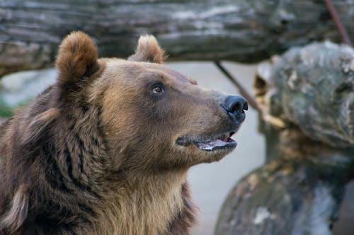 Fotos de stock gratuitas de oso marrón