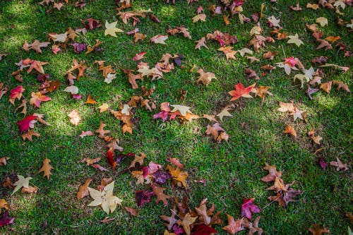 Dried Maple Leaves on Grass Ground