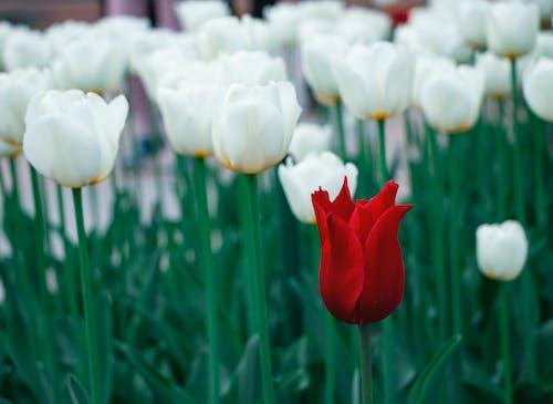 Gratis lagerfoto af rød blomst