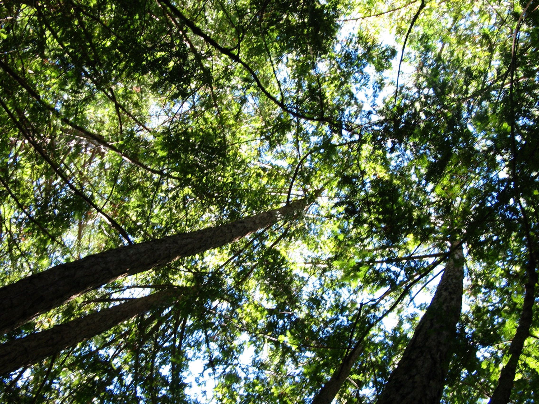 Free stock photo of redwood forest, redwoods, tall trees