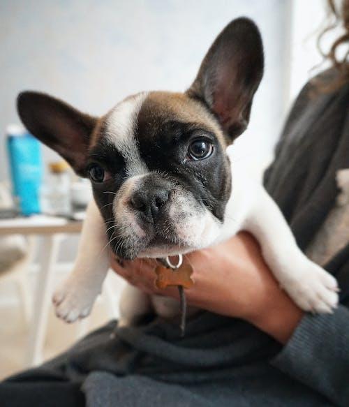Δωρεάν στοκ φωτογραφιών με γαλλικό μπουλντόγκ, κουτάβι, σκύλος