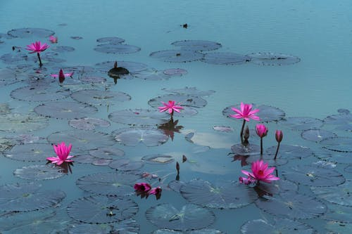 คลังภาพถ่ายฟรี ของ ดอกไม้, ธรรมชาติ, น้ำ, บัว