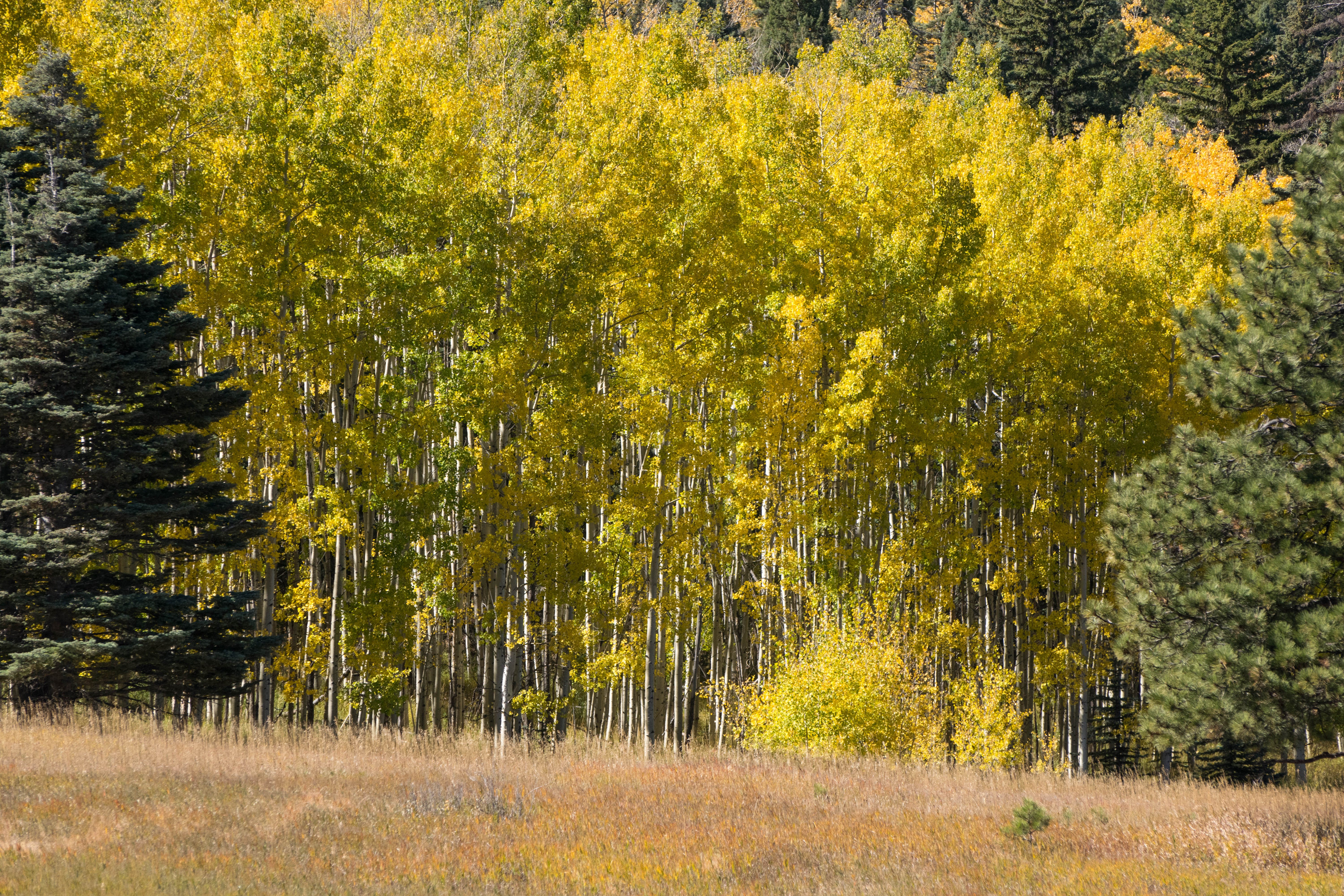Free stock photo of aspen trees, colorado, pine, san isabel
