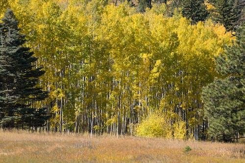 Darmowe zdjęcie z galerii z colorado, drzewa, drzewa osiki, san isabel