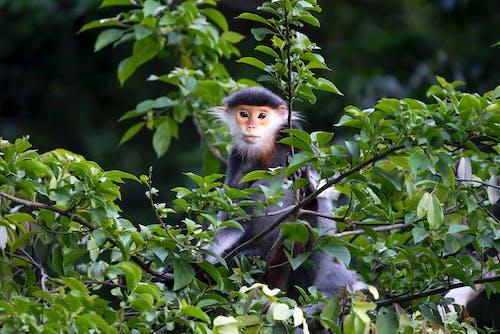 Fotobanka sbezplatnými fotkami na tému divé zviera, fotografie zvierat žijúcich vo voľnej prírode, listy, opica