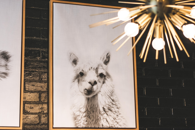 White Llama Photo