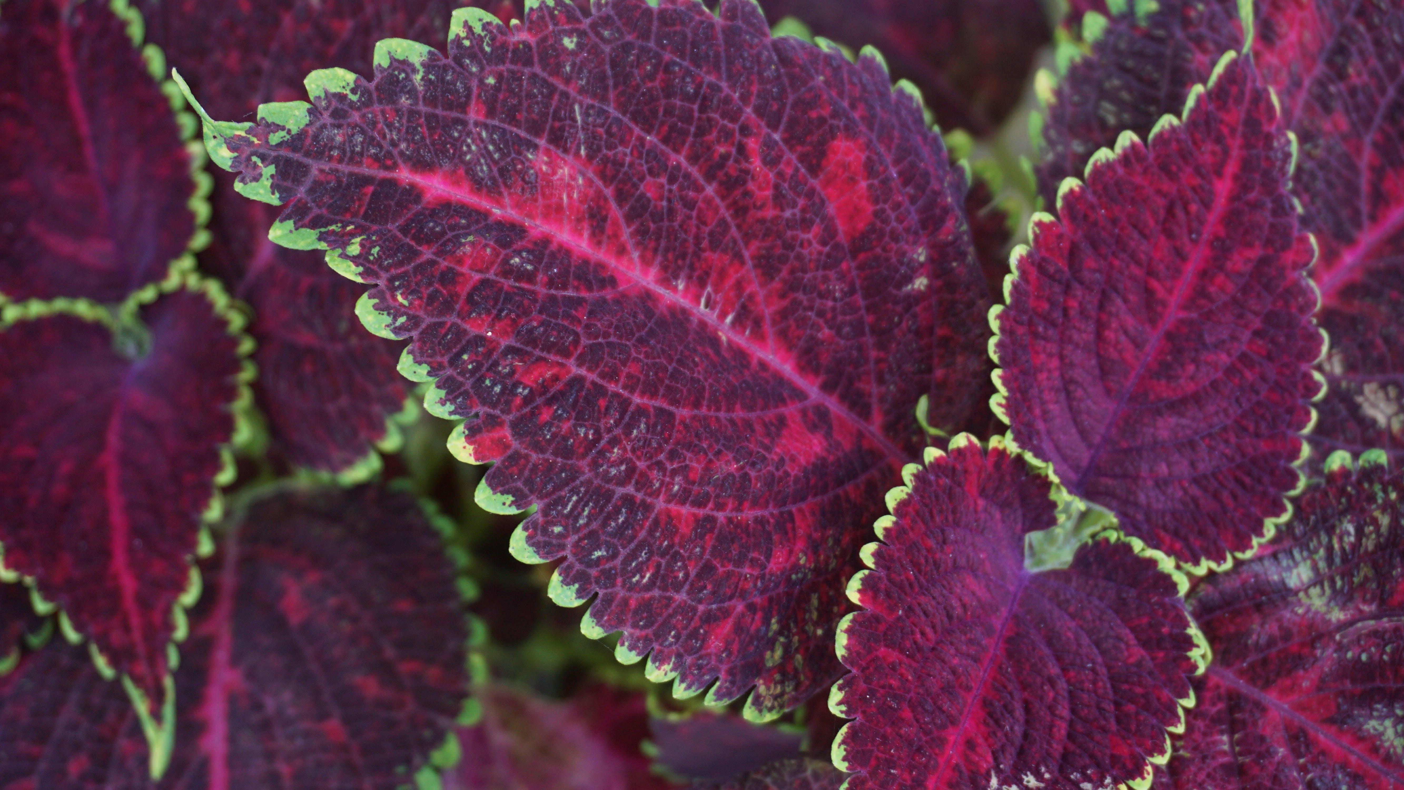 Purple Leafed Plant