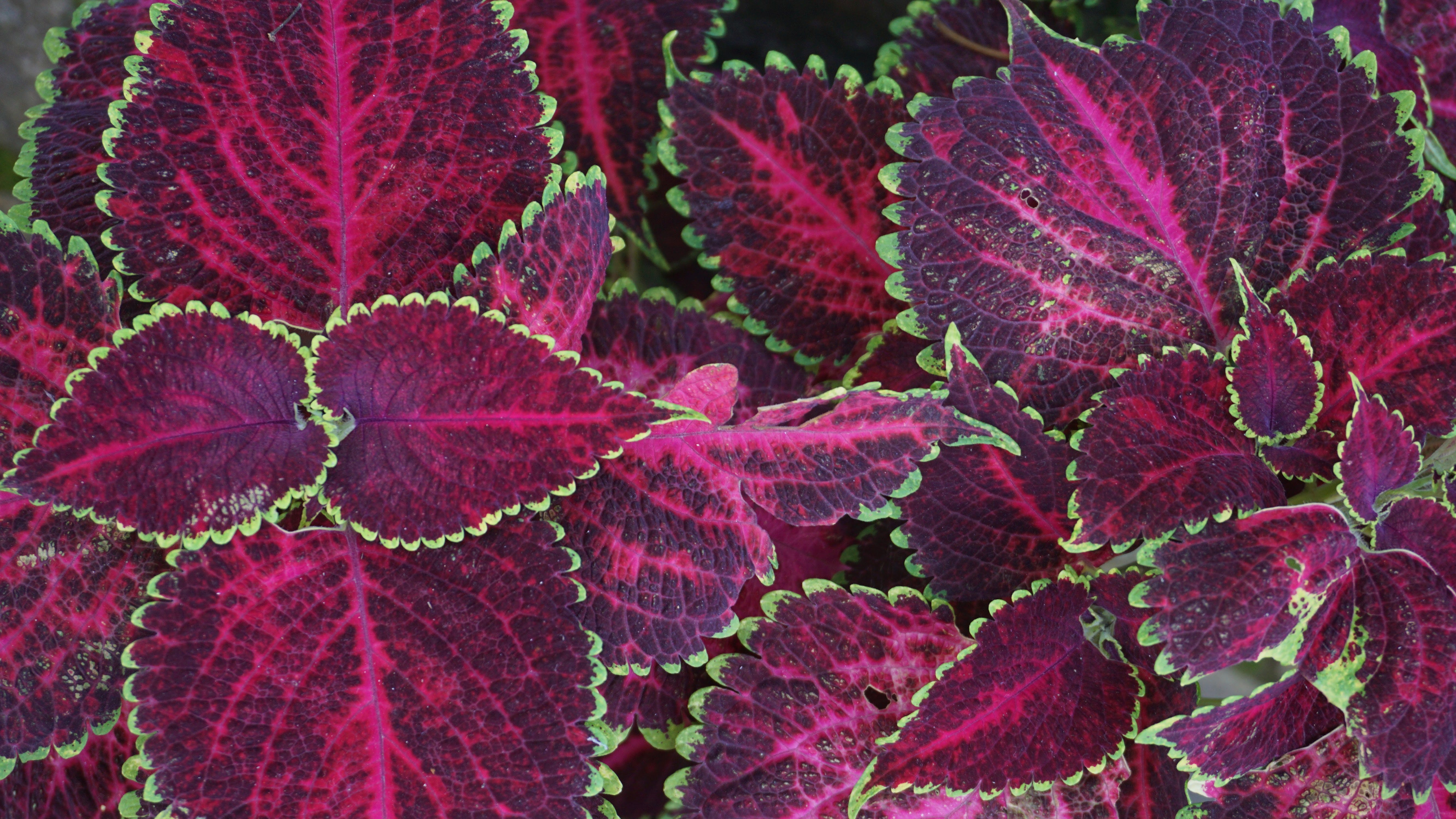 Red-and-green Leafed Plants