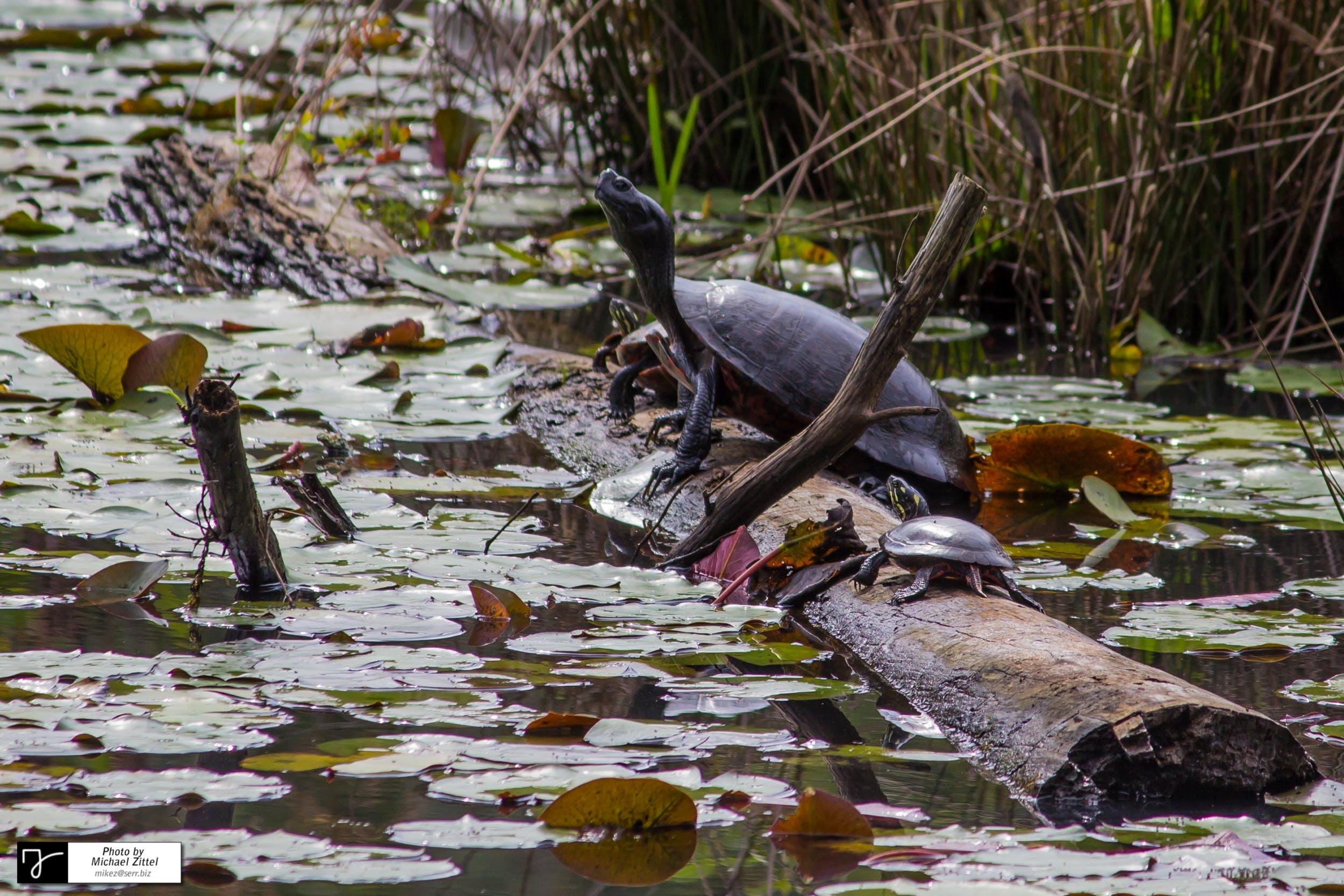 Free stock photo of turtles, marsh, swamp, wetlands