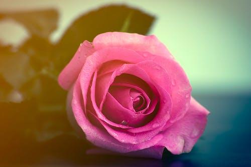 Δωρεάν στοκ φωτογραφιών με ροζ τριαντάφυλλα