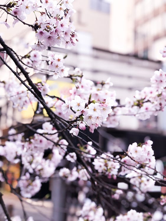 Selective Focus Photography of Cherry Blossom Flowers