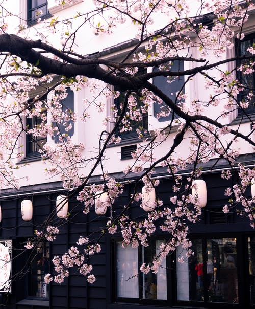 Photo of Cherry Blossom Tree in Front of a Building