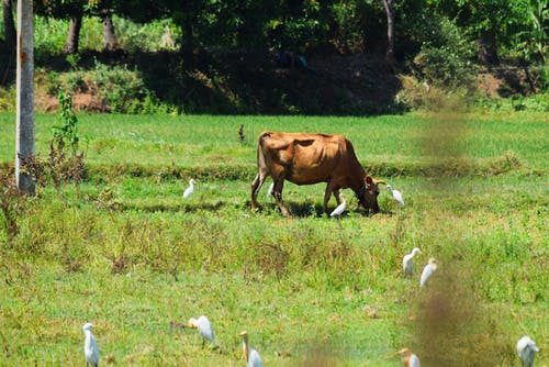 Free stock photo of birds, cows, india, nature