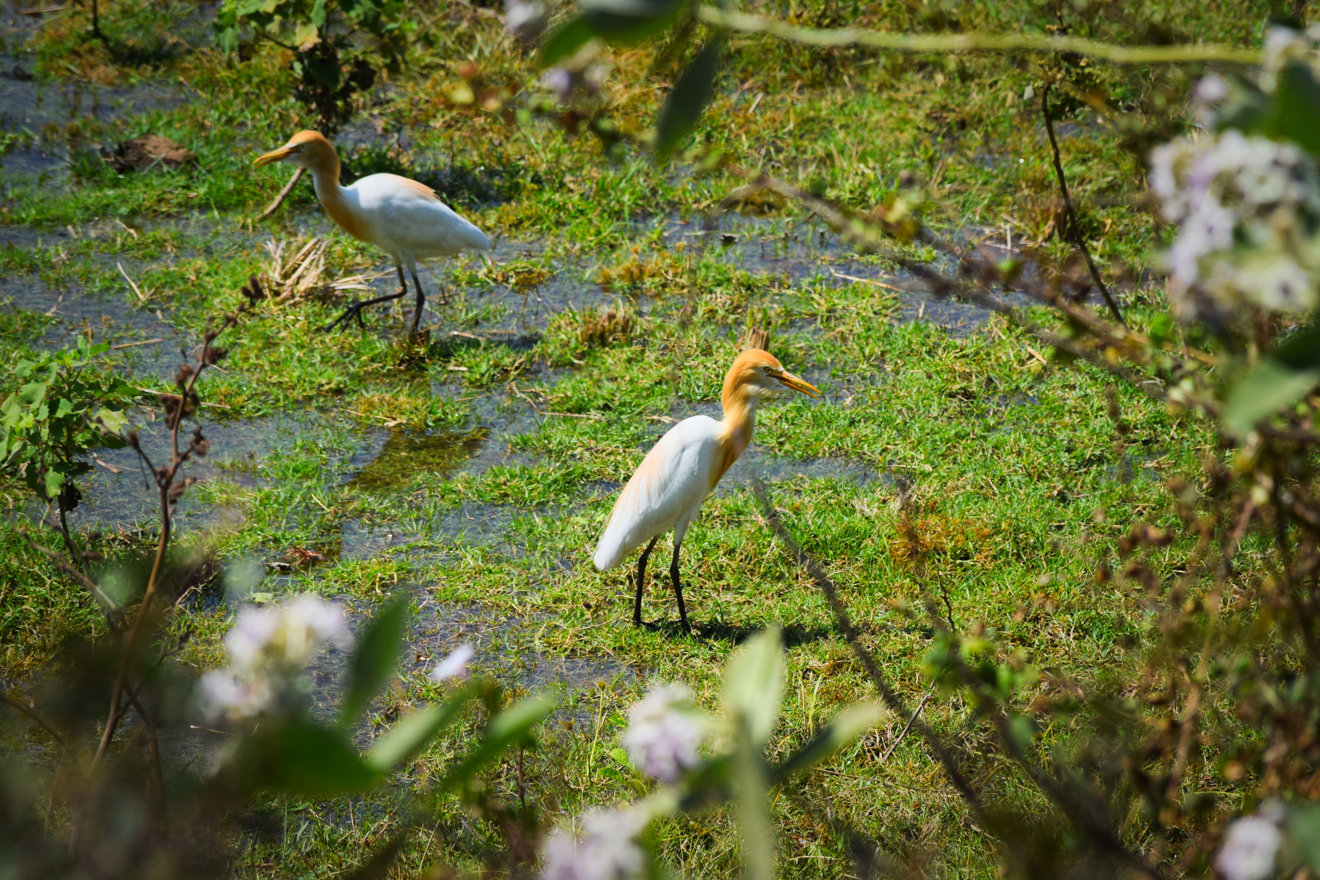 birds, india, nature