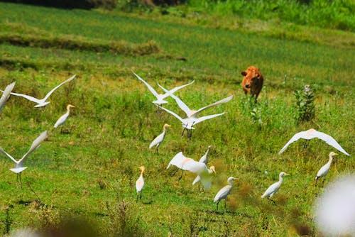 Free stock photo of birds, cows, india