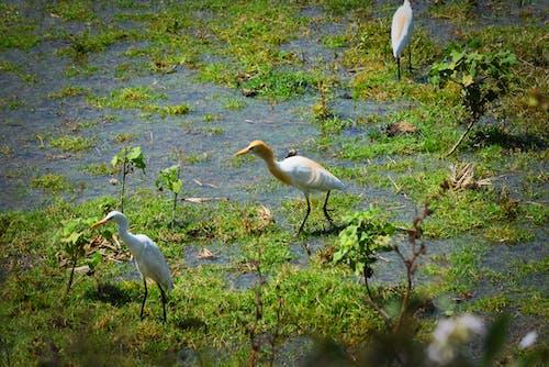 Free stock photo of birds, india, nature, village