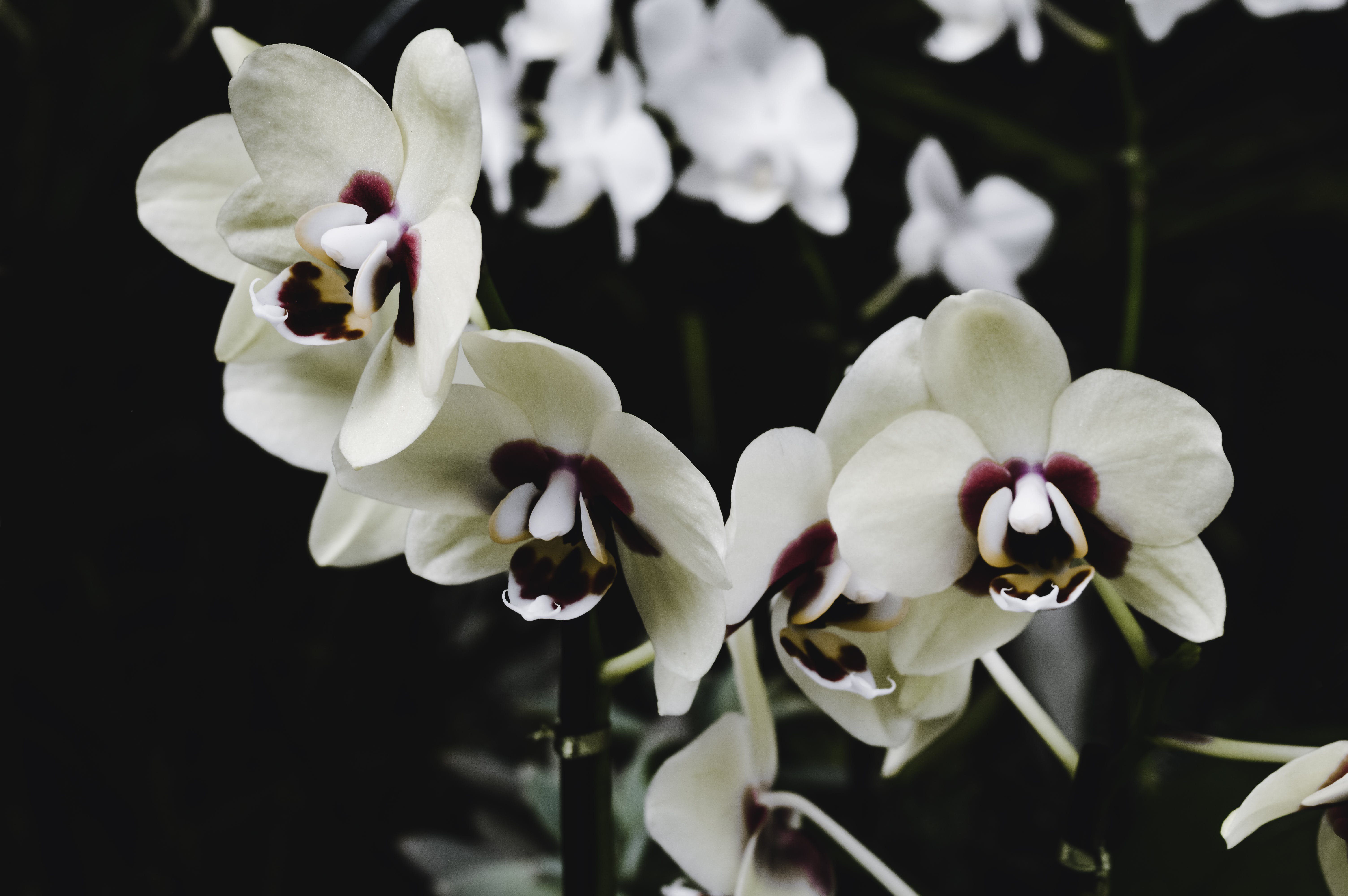 Free stock photo of beautiful flowers, flowers, orchids, spring