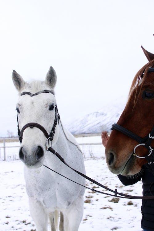 Gratis lagerfoto af hest, sne