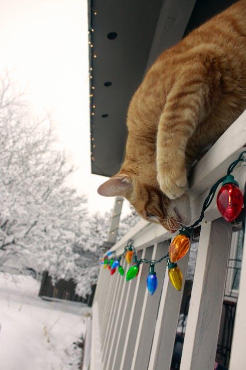 Gratis lagerfoto af ferie, højtid, jul, kat