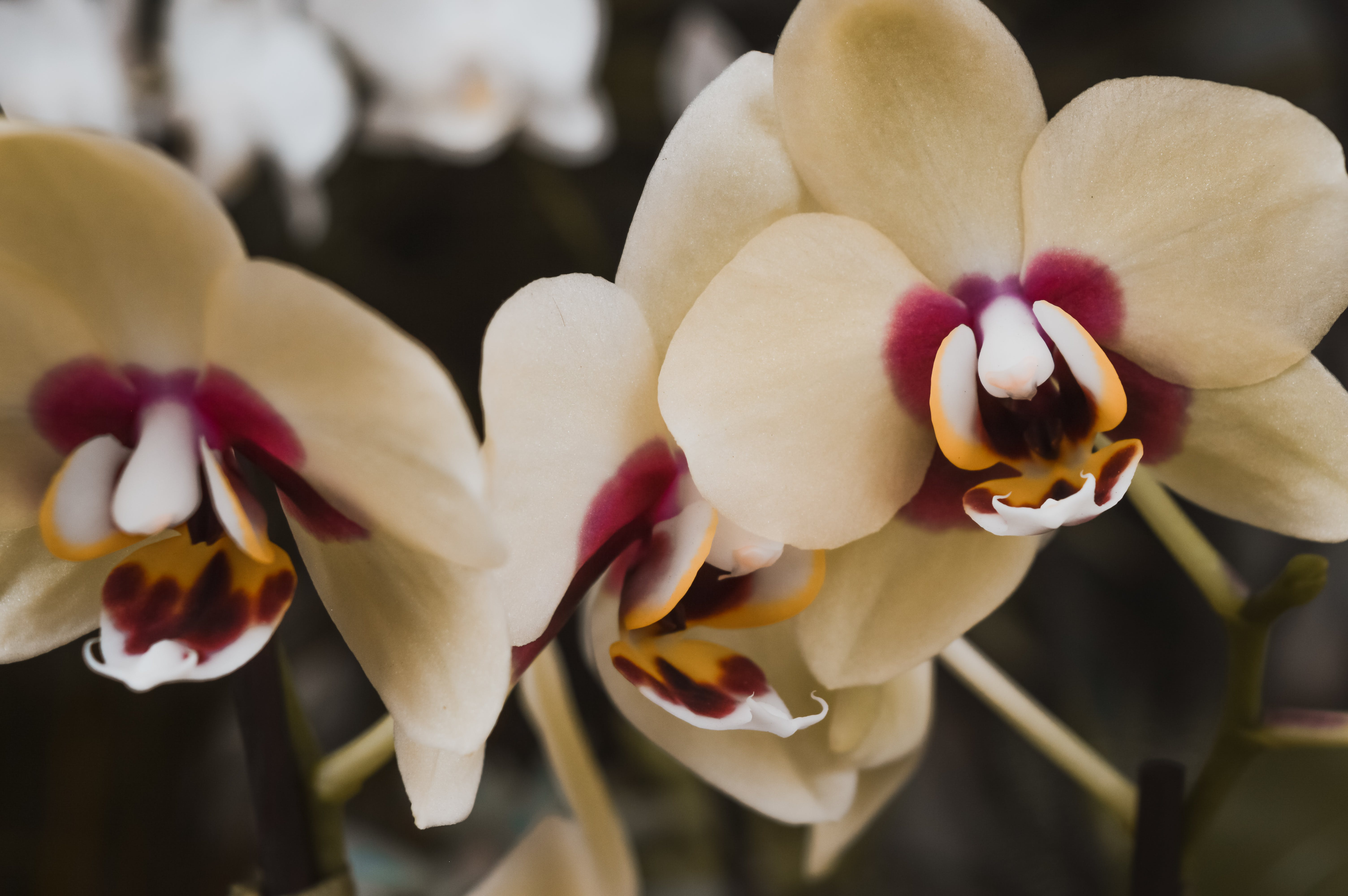 Free stock photo of beautiful flowers, flowers, orchids, plants