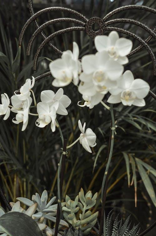 Základová fotografie zdarma na téma bílé květy, bílé orchideje, jarní květiny, jaro