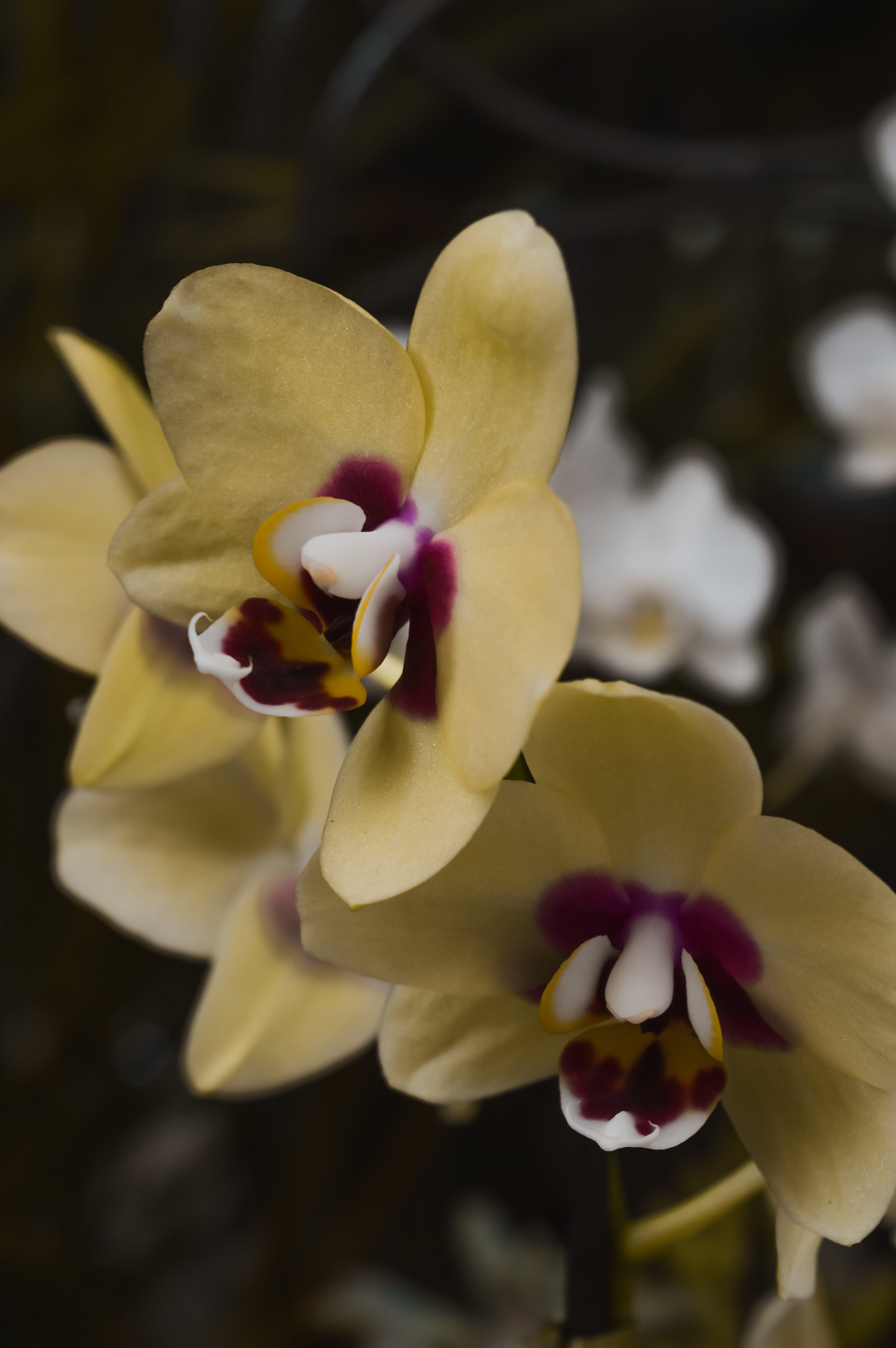 คลังภาพถ่ายฟรี ของ กล้วยไม้, กล้วยไม้สีเหลือง, ดอกสีเหลือง, ดอกไม้