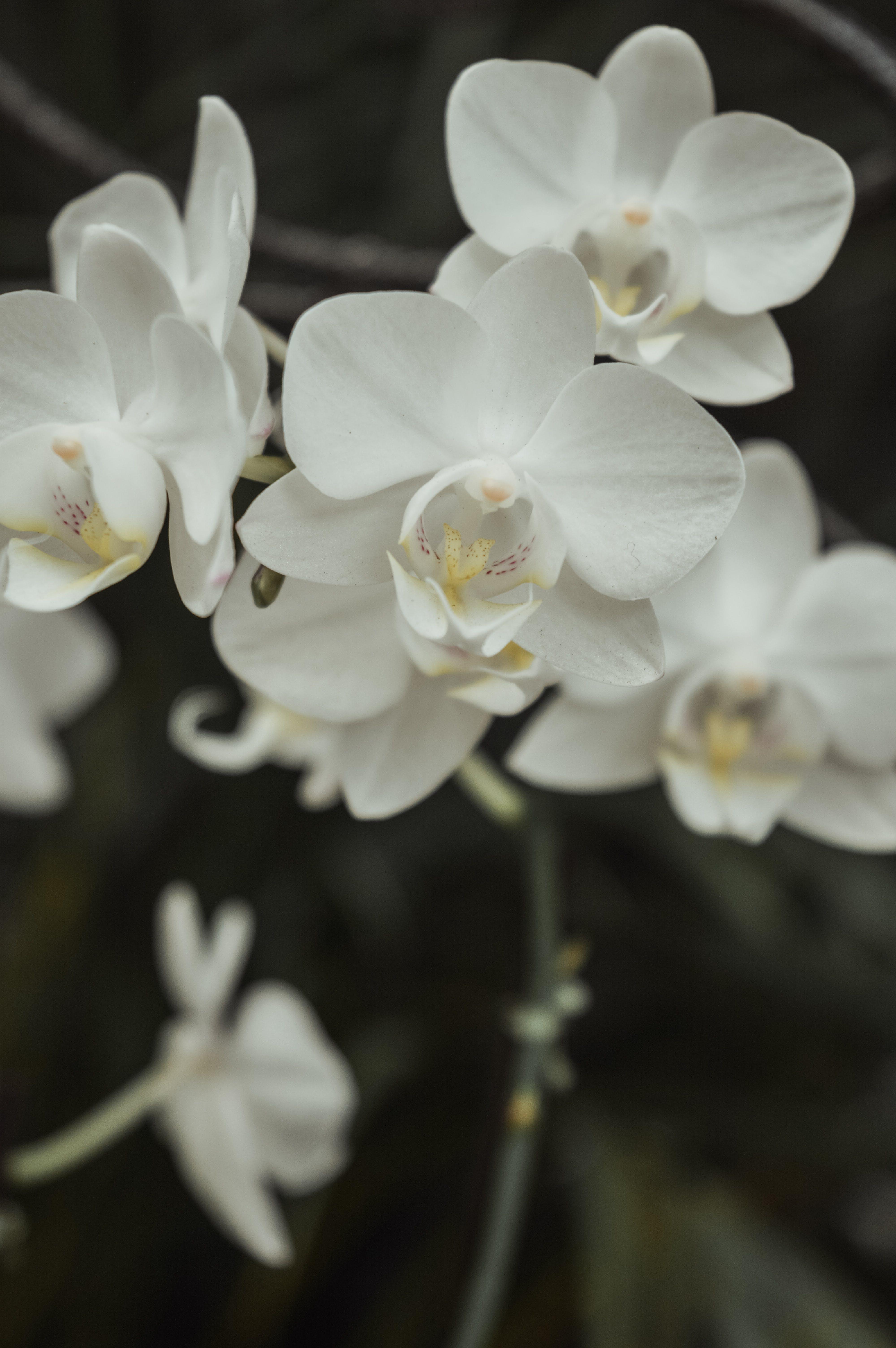 คลังภาพถ่ายฟรี ของ กล้วยไม้, กล้วยไม้สีขาว, ดอกไม้, ดอกไม้ฤดูใบไม้ผลิ