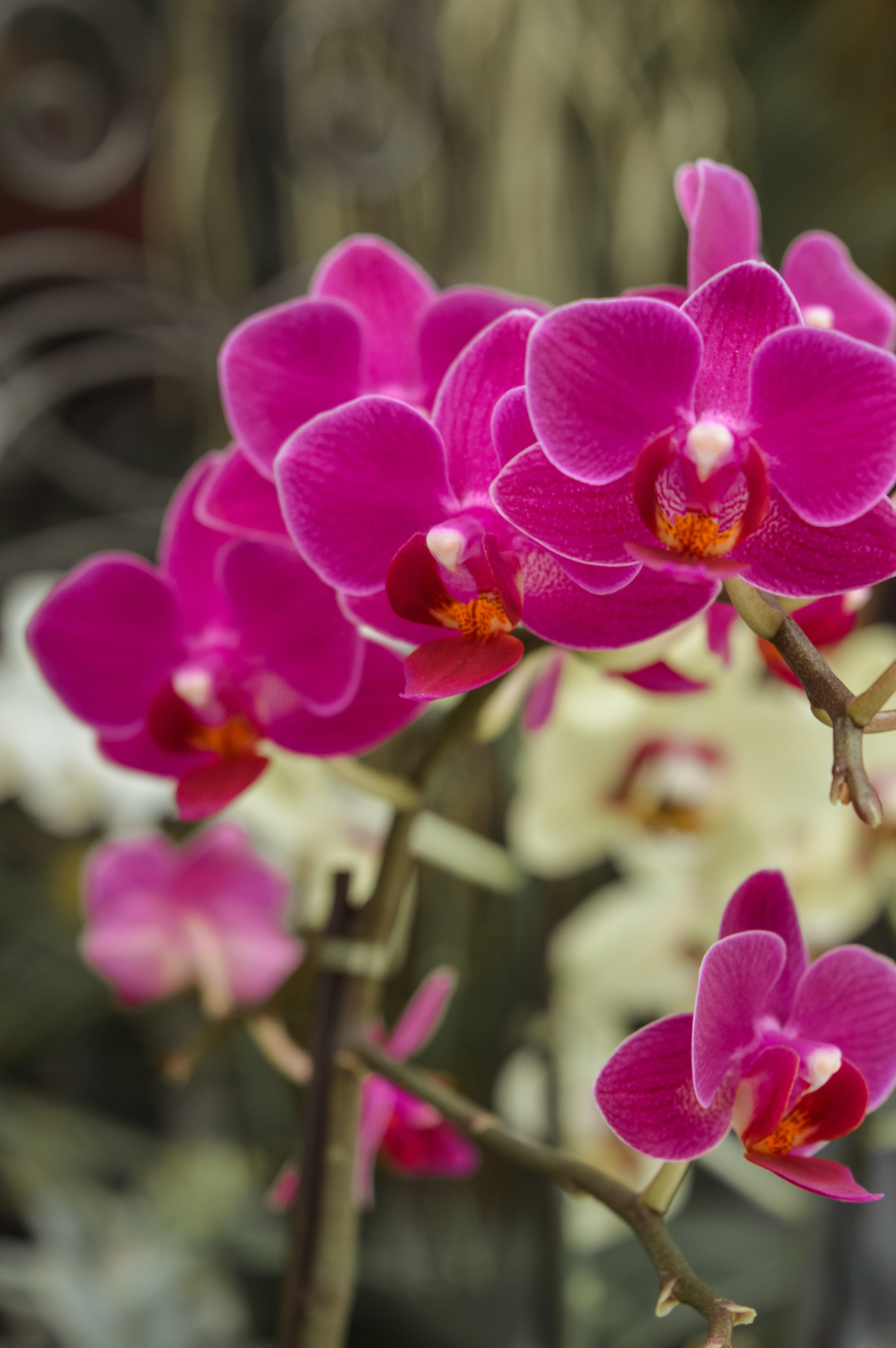 คลังภาพถ่ายฟรี ของ กล้วยไม้, กล้วยไม้สีชมพู, ดอกไม้, ดอกไม้ฤดูใบไม้ผลิ