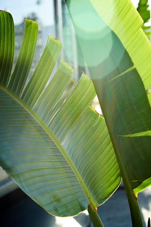 Leaves of Banana Plant