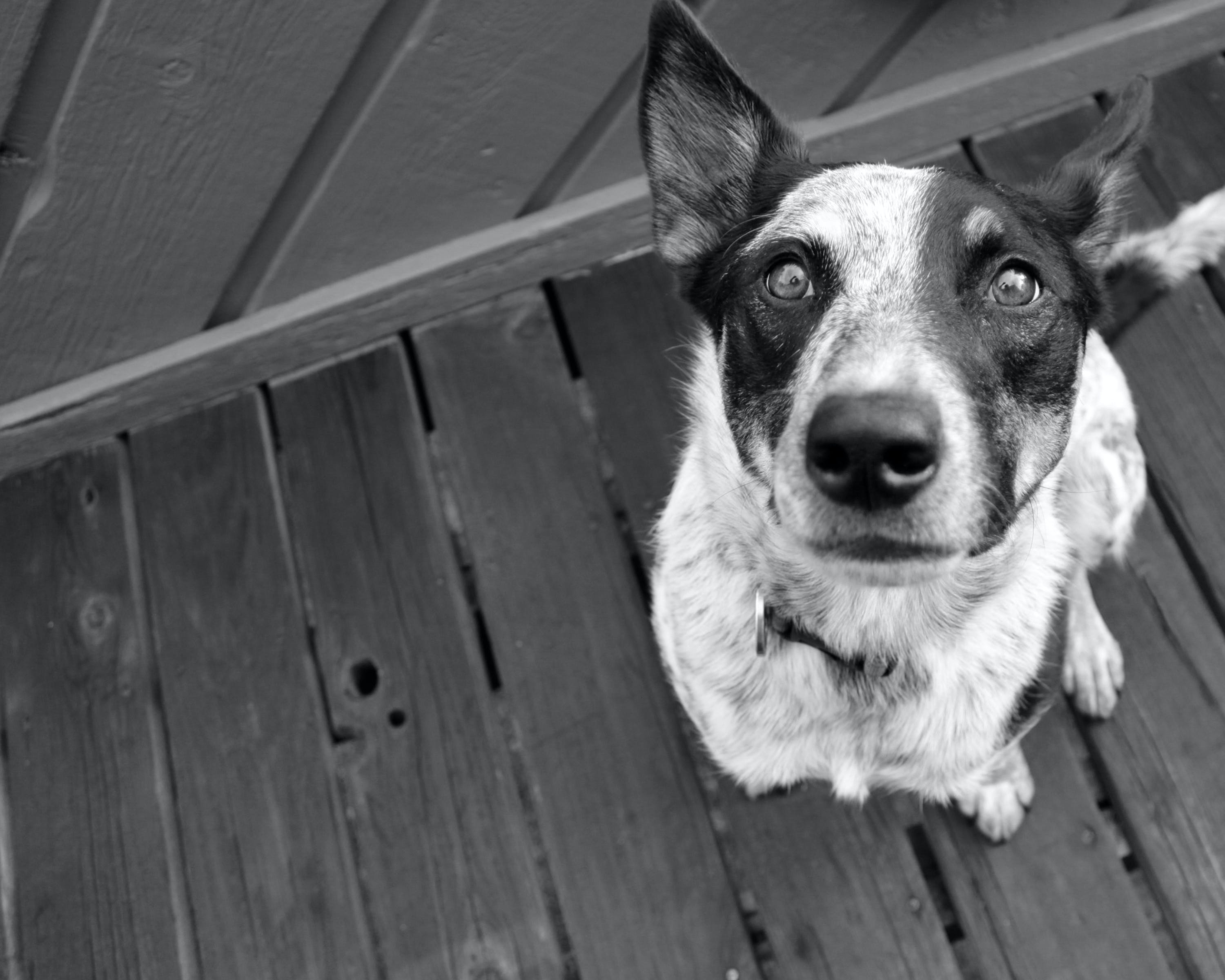 Free stock photo of black and white, dog, eyes, pet