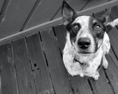 Free stock photo of black and white, dog, eyes, pet