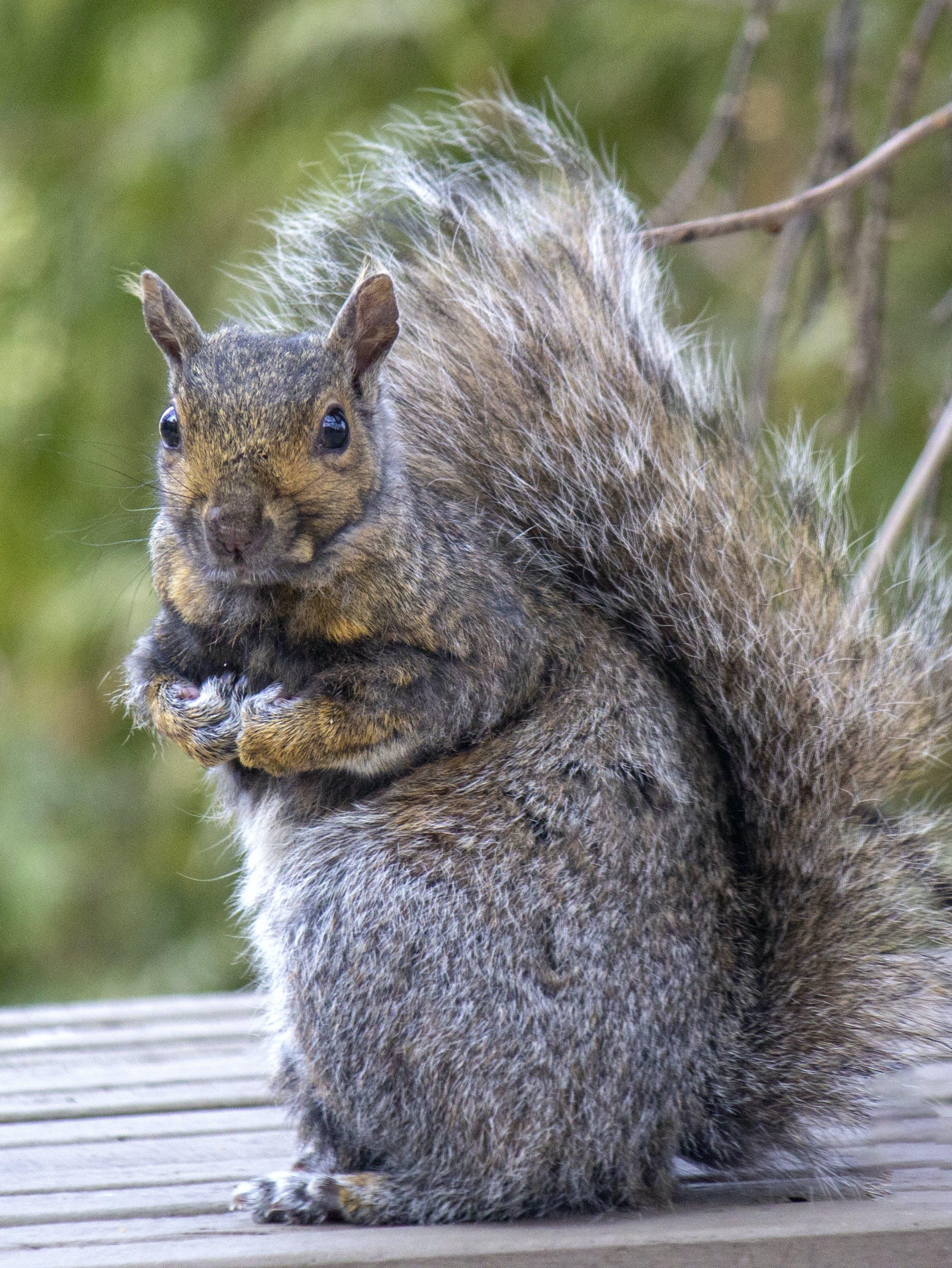 Kostenloses Stock Foto zu eichhörnchen, große augen, gucken, pelziger schwanz