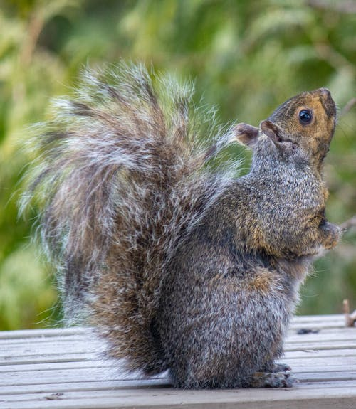 Fotobanka sbezplatnými fotkami na tému červená veverička, nadýchaný chvost, pohľad nahor, veľké oči