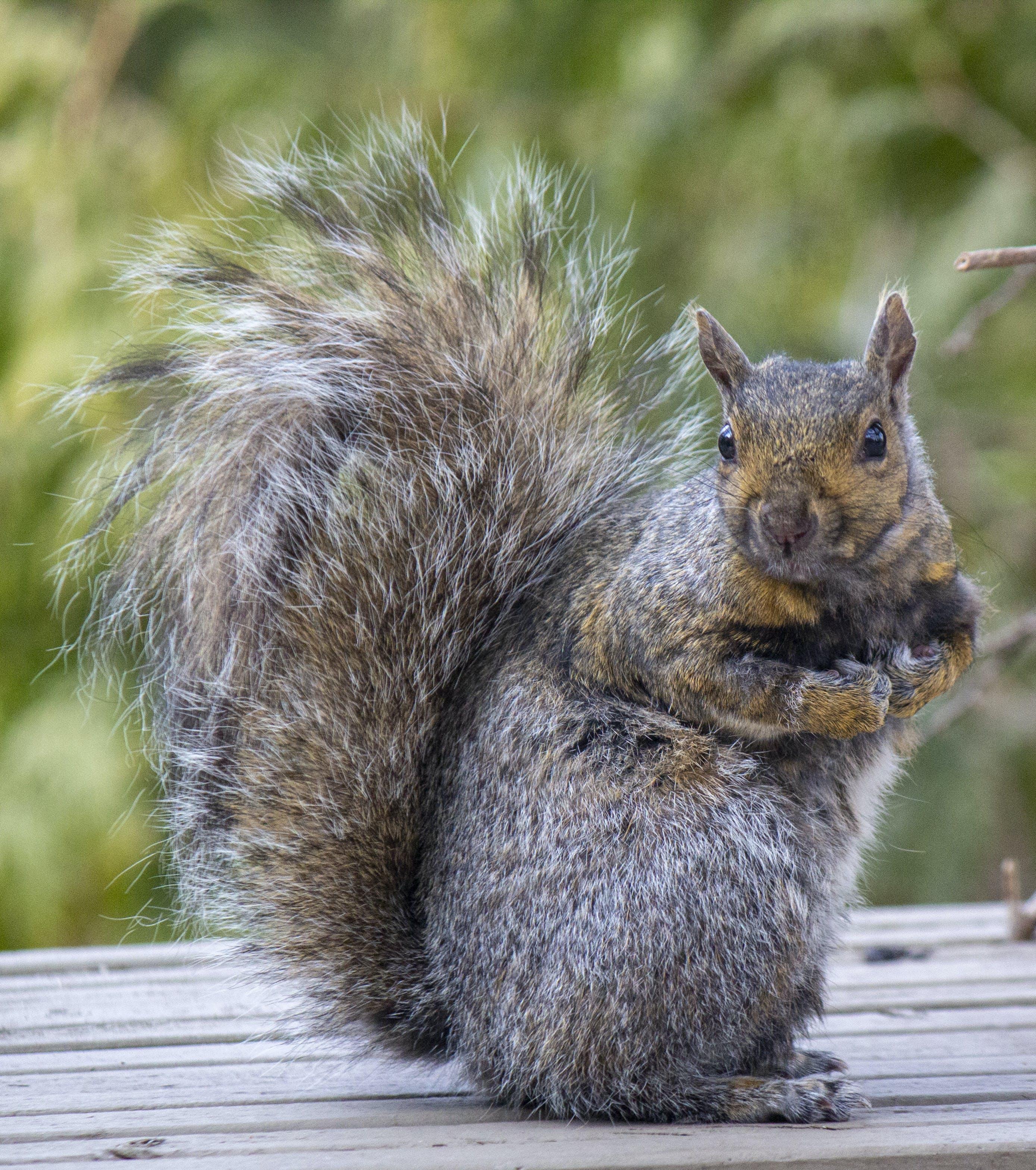 Foto profissional grátis de cauda espessa, esquilo, esquilo vermelho, olhando para você