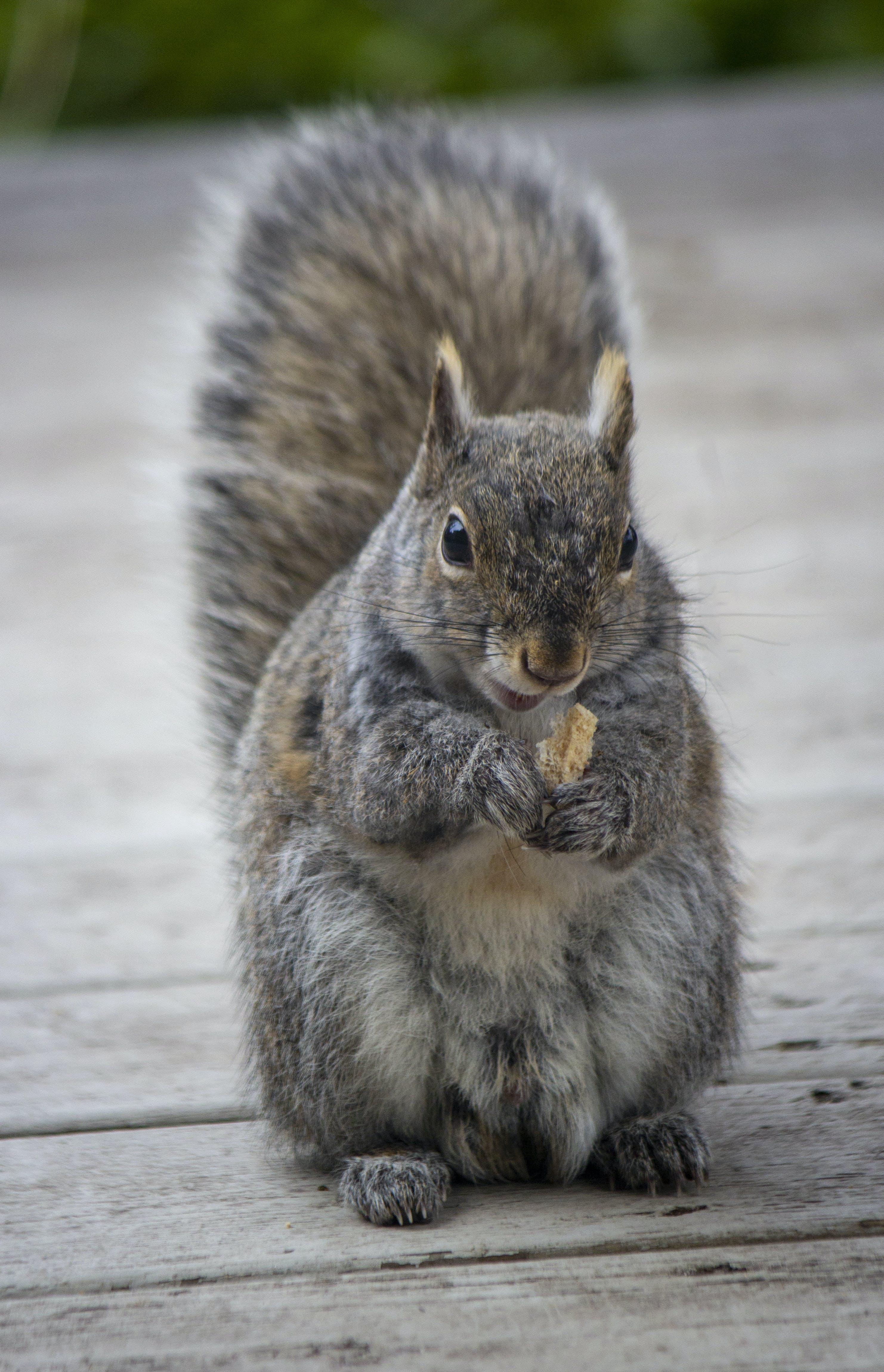 Kostenloses Stock Foto zu eichhörnchen essen, eichhörnchen, essen, rotes eichhörnchen
