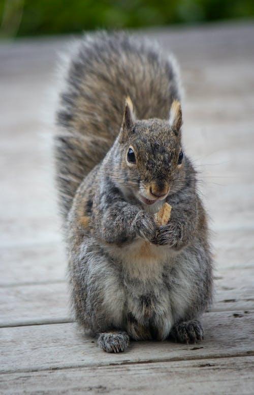 Fotobanka sbezplatnými fotkami na tému červená veverička, jedenie, sedenie, veverička