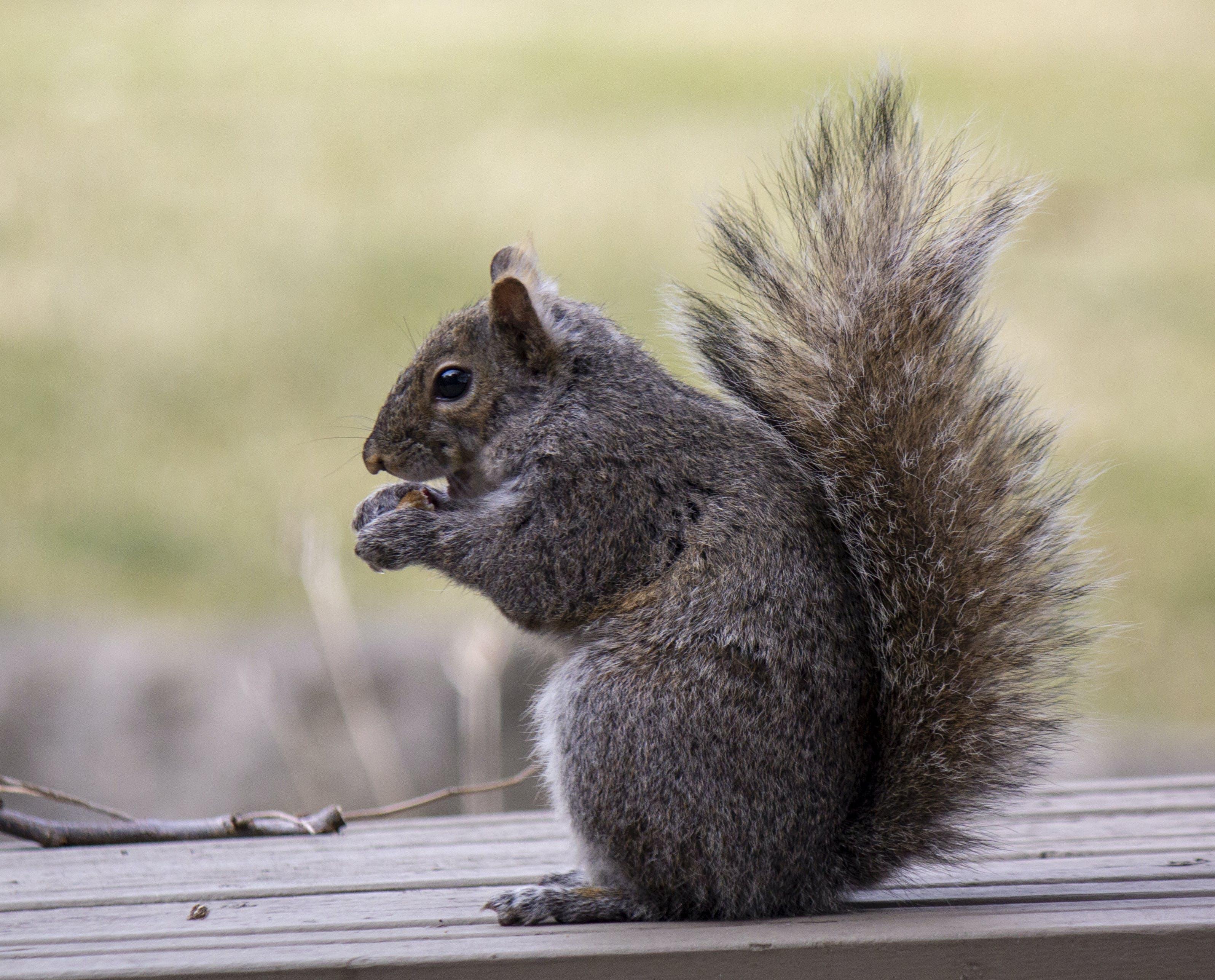 Kostenloses Stock Foto zu buschiger schwanz, eichhörnchen essen, eichhörnchen, red squirel