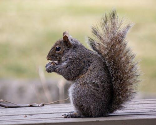 Fotobanka sbezplatnými fotkami na tému huňatý chvost, red squirel, veverička, veverička jesť