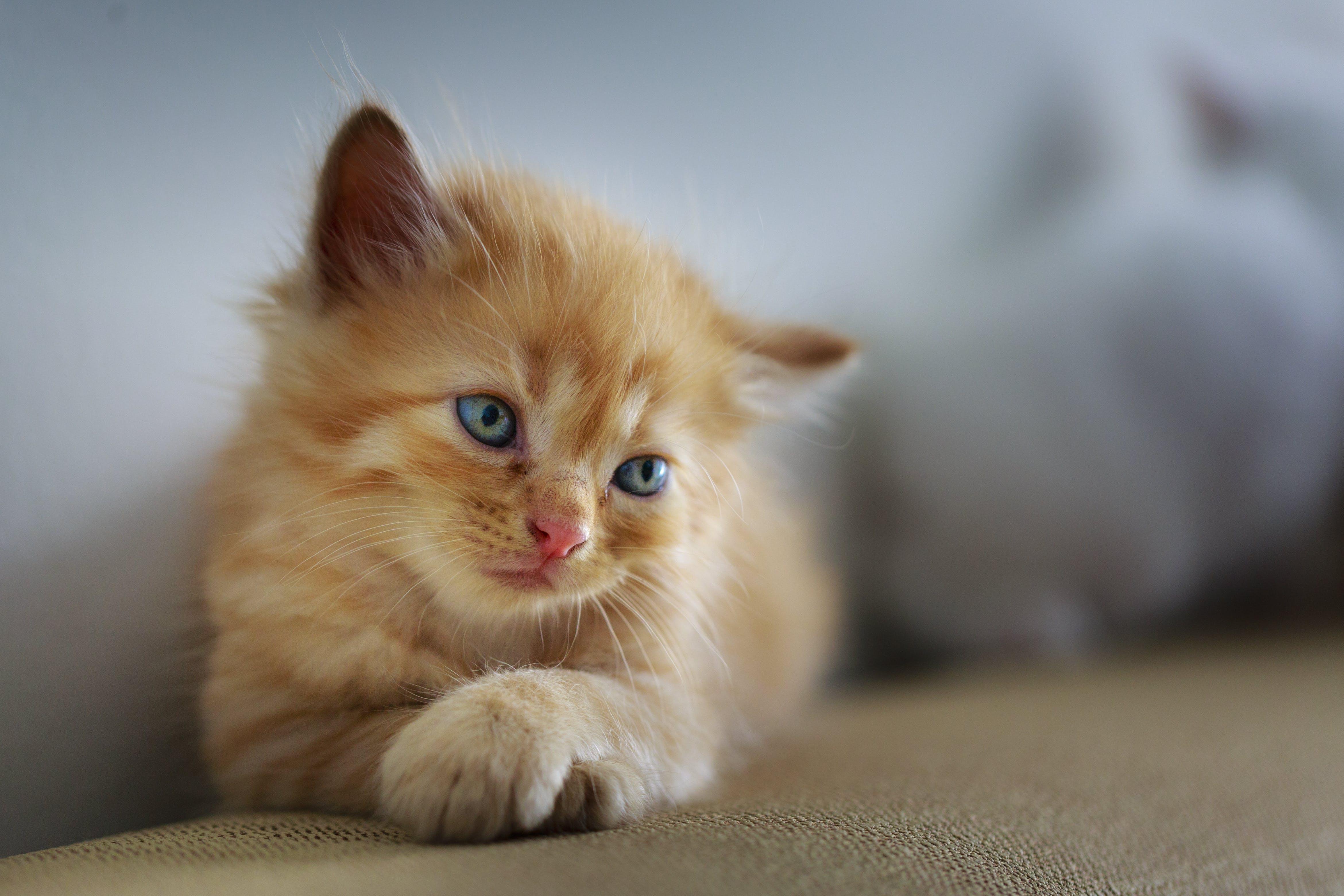 Kostenloses Stock Foto zu bezaubernd, gefleckt, haustier, kätzchen